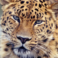 Save Amur Leopard