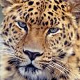 Save Amur Leopard