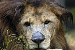 mange on lion nose