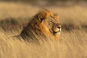 Noble Male Lion on the African velt