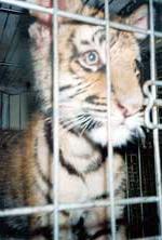 Skinny Tiger Cub in FL