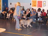 Gloria Johnson walks White Tiger in School