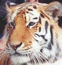 Ekaterina the tigress lives with Sierra the white tiger and still needs a home too!