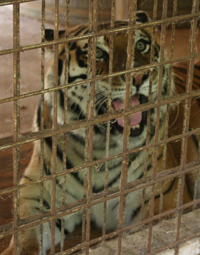 Nikita the tiger in OH