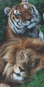 Joseph the lion and Nikita the tiger, his best friend