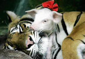 Tiger with piglet