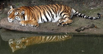 China Doll the Tiger by Julie Hanan