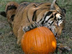 Tiger by Julie Hanan