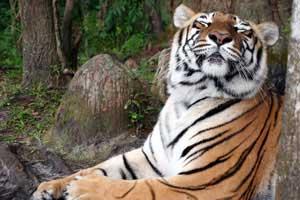 International Tiger Coalition