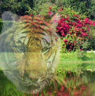 circus tigers