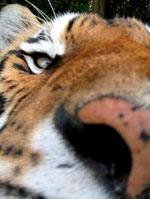 Tiger Nose