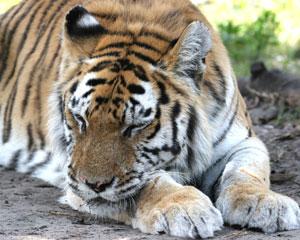 Tiger Trucha Sleeps