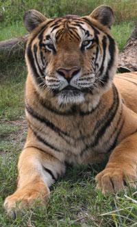 Tiger Snorkel