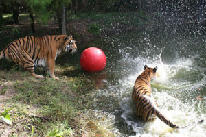 tigers swimming playing with ball