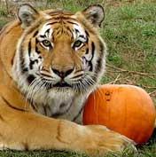 Saber Loves Pumpkins
