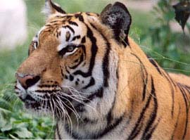 common name tiger