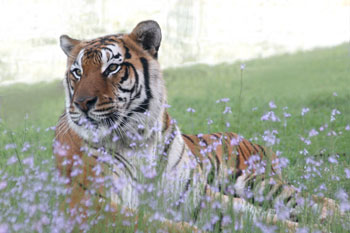 Tiger in field of flowers at Big Cat Rescue