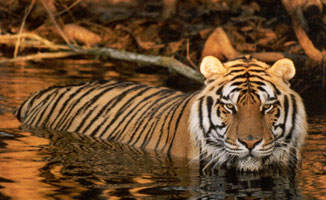 Tiger in Lake