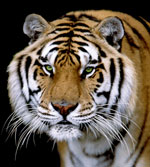 Tigers need your voice