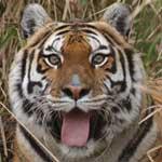 Simba the Tiger