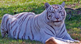 White Tiger loves her ball!  YouTube