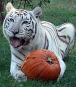 White Tiger Zabu with Pumpkin