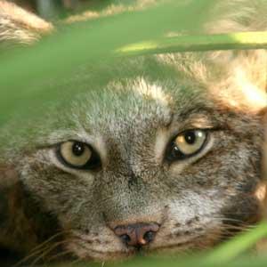 Shatia the Canada Lynx