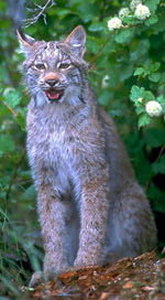 Canada Lynx Facts Big Cat Rescue