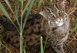 Pisces the Fishing Cat