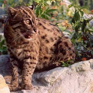 http://www.bigcatrescue.org/images/000BigCatPhotos/fishingcats/fishingcatsaquarius.jpg