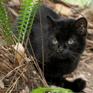 Geoffroy Cat at Big Cat Rescue