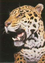 Jaguar and Jaguar Kitten Threats