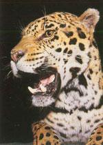 Jaguar.jpg (100639 bytes)