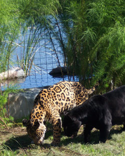 jaguars by the pool at Big Cat Rescue