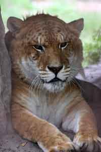 Freckles the Liger