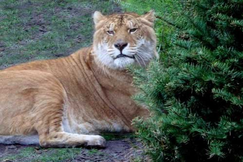 Liger at Big Cat Rescue
