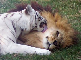 White Tiger with Lion