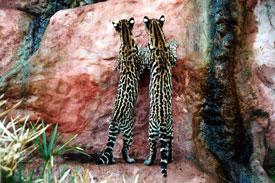 Ocelot Twins