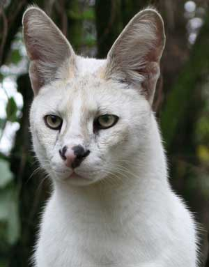White Serval Pharoah