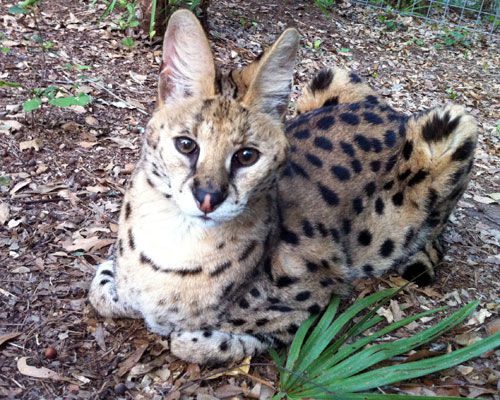 Doodles the serval
