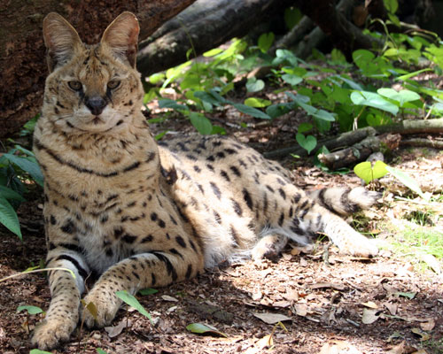 Zimba the serval