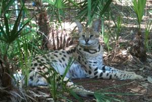 Servie Serval at Big Cat Rescue