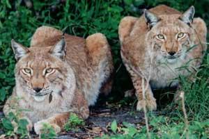 Siberian Lynx Brothers