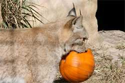 Siberian Lynx by Julie Hanan
