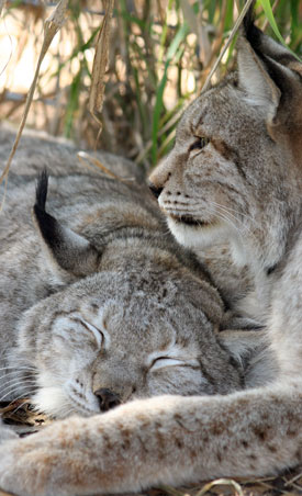 Siberian Lynx Snuggle