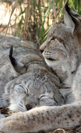 Siberian Lynx at Big Cat Rescue