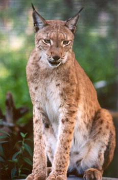 Zeus the Siberian Lynx at Big Cat Rescue