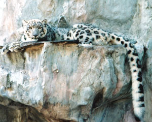 Snow Leopard Cloe at Big Cat Rescue