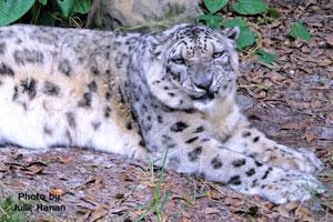 snow leopard Cloe