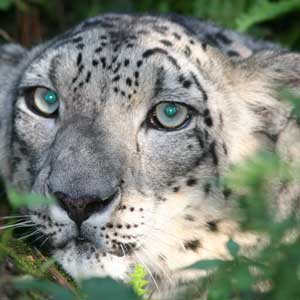 Hercules, the Snow Leopard